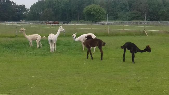 Alpacas in Great Budworth