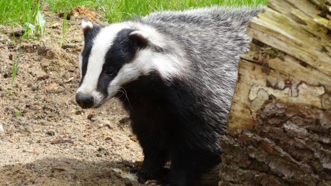 CEC has firmed up its stance on the badger cull