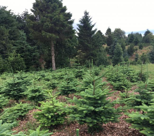 DD Forestry will be selling Christmas trees in Delamere this year