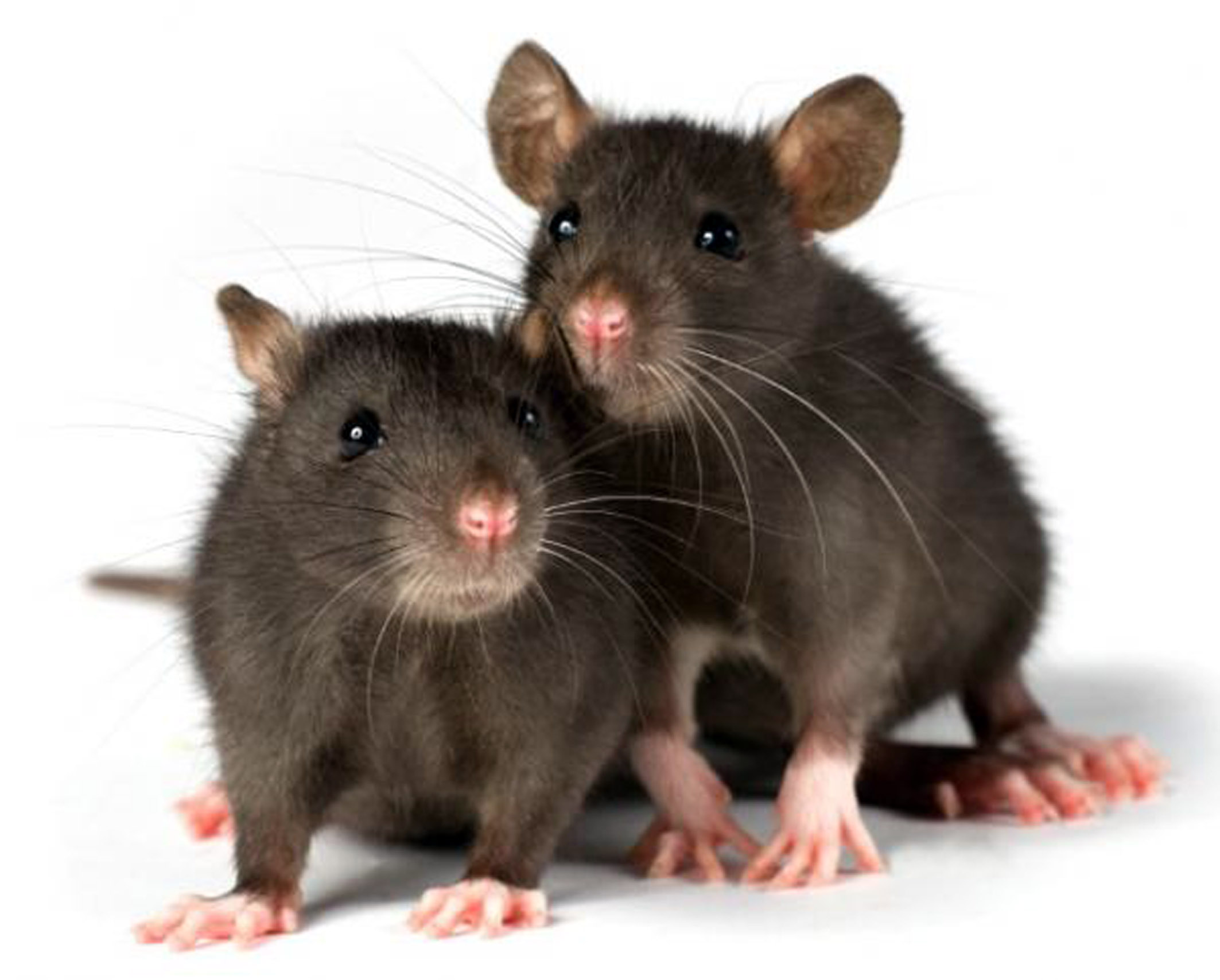 Rats! I'm moving to Halton for cheaper vermin control