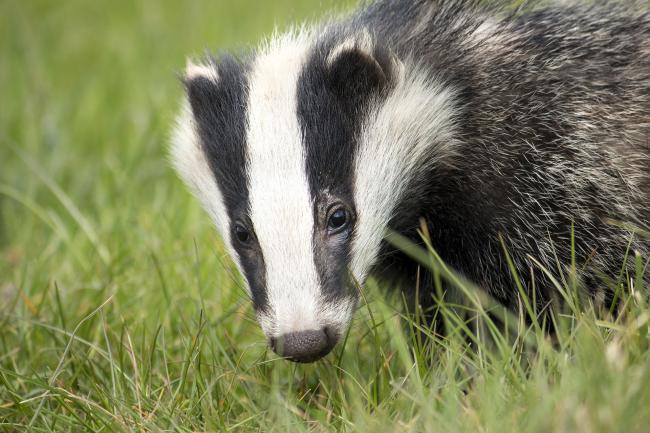 Almost 15,000 badgers have been killed since culls began in 2013