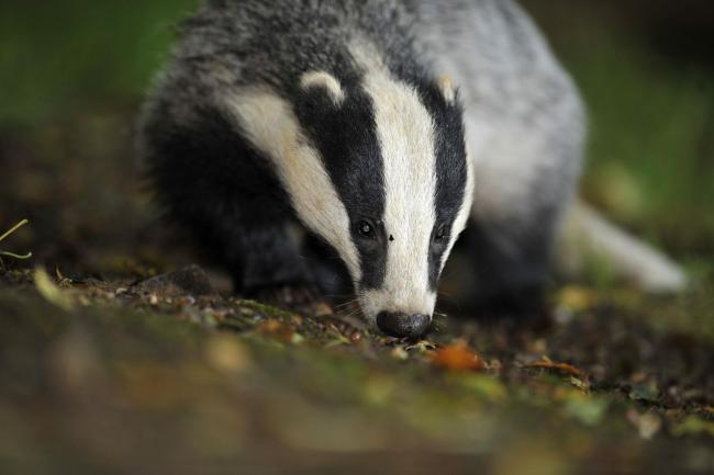 A Badger Photo credit should read: Ben Birchall/PA Wire.