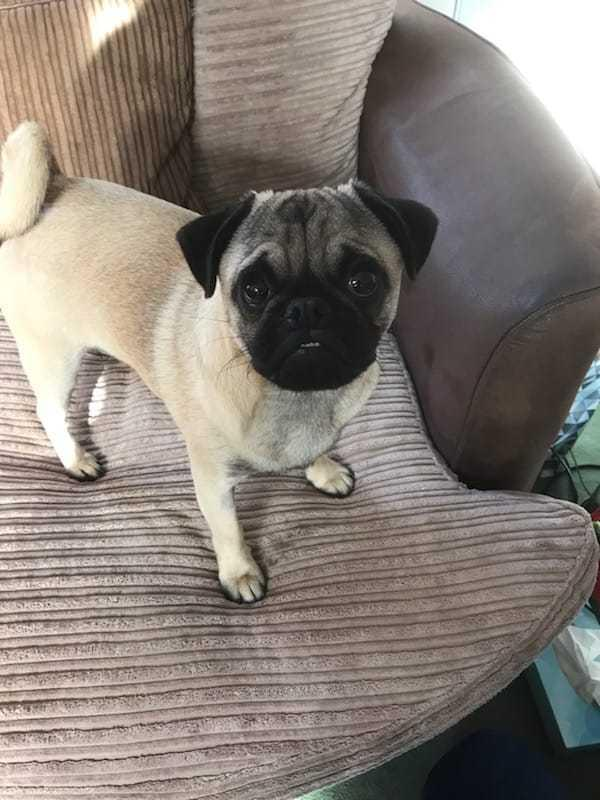 A man from Middlewich has been arrested on suspicion of stealing Alastor the pug